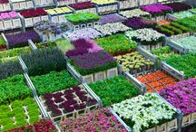 Flower auction in Aalsmeer/Giełda kwiatowa w Aalsmeer, Holandia
