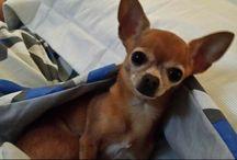 Meus Chihuahuas / Cães minúsculos que eu amo tanto!