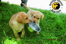 Fahéj & Fidzsi / Fahéj & Fidzsi testvérek és vakvezető kölyök kutya tanulók :) (Cinnamon & Fiji are brothers and guide dog puppy  students :) )