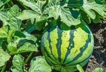 growing watermelon