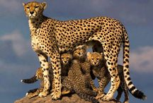 Cheetah / The cheetah is a large felid of the subfamily Felinae that occurs mainly in eastern and southern Africa and a few parts of Iran. The cheetah is characterised by a slender body, deep chest, spotted coat, a small rounded head, black tear-like streaks on the face, long thin legs and a long spotted tail. Its lightly built, slender form is in sharp contrast with the robust build of the big cats, making it more similar to the cougar.