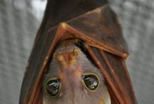 ☀Nietoperze - ☀Bats / I think bats are one of the cutest animal ever! :* #bat #bats #flyingfox #flyingfoxes #cute