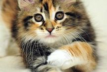 Passion Maine coon