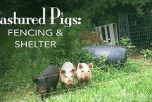 :: Pigs!