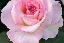 Rózsa minták