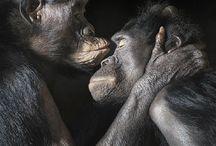opice a simpanzy