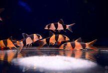Poissons d'aquarium