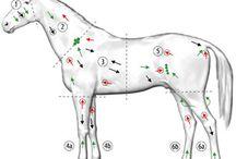Equine Lymfedrainage/ manuele lymfedrainage