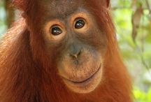 Tour Orangutan Kalimantan [operator : 100% Traveller] / Tour Orangutan Kalimantan Overnight Houseboat - TN Tanjung Puting Link : http://triptr.us/ts