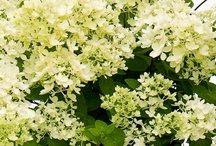 White and Green / White and green flowered plants - for that fresh, luminous look.