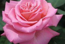 Rose Tantau