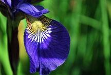 Iris <3 / My favourite flower / by Fee @ kinky-cherries.com