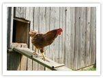chickens / by Sandie Carper