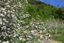 Verger McArthur / Le Verger McArthur offre l'autocueillette de pommes en saison. Au printemps, vous pouvez aussi vous y procurez du sirop d'érable!