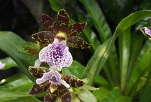 Singpore orchids / There's nowhere like the Singapore Botanic Gardens to see spectacular flowering orchids!