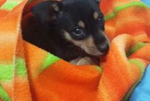 Dog - Puppy - Miniature Pinscher (Miçi)