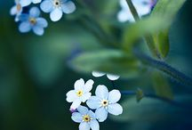 Myosotis ( forget me not )