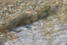 Truites sauvages / Les truites sauvages du Jura