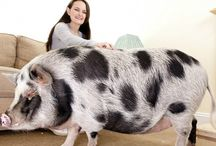 Animals PIGS