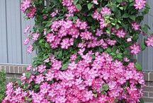 Bahçe  çiçekleri
