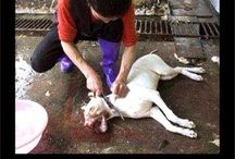 """MEAT TRADE GROUP / Everything about Dog & Cat Meat Trade around the world. Plz join me in the fight against these barbaric trades. Plz add text to pins, showing what it is in concern of and stay within the subject. ABSOLUTELY NO hunters, porn, false money raising, selling of any goods! REMEMBER, EATING FARM ANIMALS IS AS SHAMEFUL AND WRONG AS EATING PETS & IT'S DESTROYING OUR PLANET!  If you want in in on the """"Factory Farming Group"""" plz get rid of the animal eating recipes and groups on your sight - message me."""