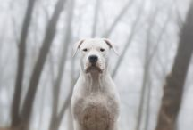 Dogo Argentino ♥