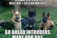 German Shepherds / Dogs