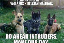 German Shepherds / Dogs
