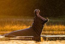Animals.Hippopotamus
