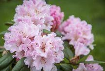 Rhododendron,Azalea