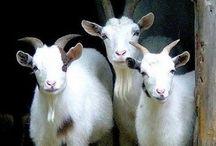 I luv goats