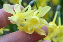 Narcissi / Narcissi...