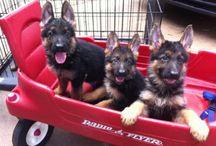 Just German Shepherds / by Lynne Hatch