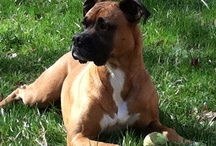 Dixie - If it's not a Boxer it's just a dog. / Dedicated to my Sweet Dixie who has become my best friend and stolen my heart.  / by Karlynn Morgan