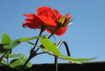 Fiori del terrazzo / I miei fiori