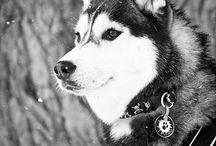 HuskySziszike Saját kutyám volt + sdahbos