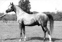 Pure Crabbet Arab Horses