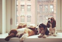 Basset Hound LOVE / One hound and a lot of heart!