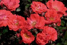 Shrub Roses Anyone Can Grow! / These are low-maintenance shrub roses anybody can grow. These roses require little if any care and will provide outstanding color throughout the season in your landscape or gardens.