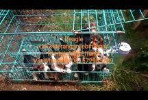 Jual Anjing Beagle (Von Javelline Kennel)