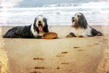 My dogs / Bearded collies: Phoebe is was mum of Niki. Niki is mum of Hanah.