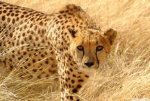 Samara Predator-Prey Research, Eastern Cape, South Africa / Cheetahs are the world's fastest land animals! The cheetah introduced at Samara were the first wild cheetah to be back in the area in 125 years.