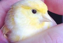 kanarya / kuşlar sevimlidir