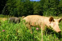 Organic Pig raising / We raise pigs on fresh pasture and organic grain.  They have happy lives.