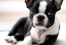 Boston Terrier Puppies / I have to have one!