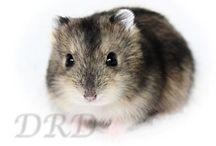 Wildkleur Russische Dwerghamster / Bekijk hoe de wildkleurtjes eruit zien.  www.derussischedwerghamster.nl #hamster #dwerghamster #russischedwerghamster