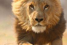 Lion / by StudioWagle
