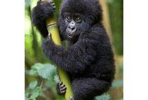 cuki majmok
