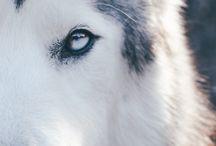 husky is pretty