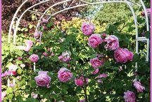 rozenboog